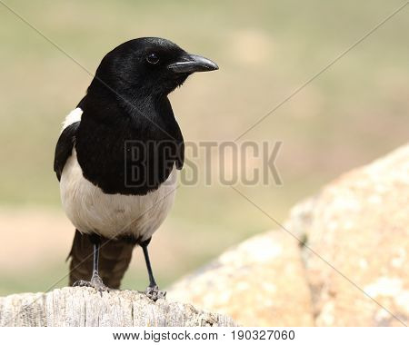 A Black-billed Magpie calmly waiting in northern Colorado.
