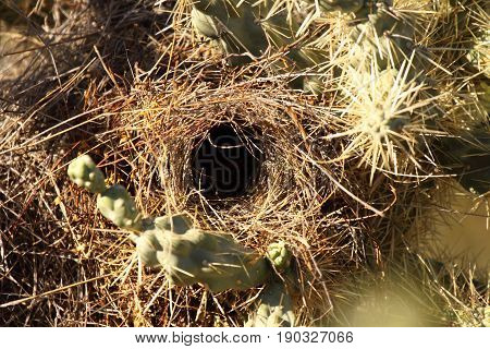 The nest of a Cactus Wren in a cactus in southern Arizona.