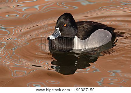 A male Ring-necked Duck swimming on reflective water in New Mexico.