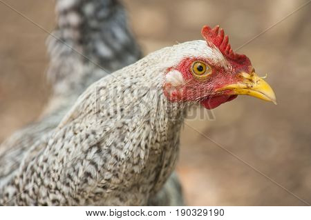 Portrait of a speckled rooster on a farm in the tropics
