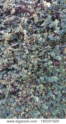 Background of a thick green garden hedge pattern
