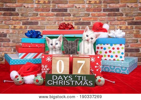 Two fluffy white and one gray kitten popping out of a pile of presents small santa hats toy mice and count down to Christmas blocks. Red fuzzy carpet brick wall background. 07 days til Christmas