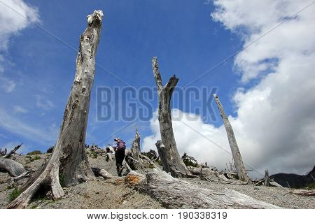 Dead trees from eruption of Chaiten volcano, south of Chile
