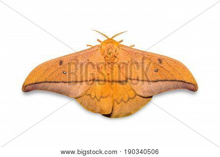 Cricula Silkmoth (cricula Trifenestrata)