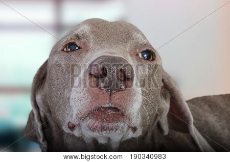 Close-up portrait of weimaraner dog. Focus on noise, shallow depth of field