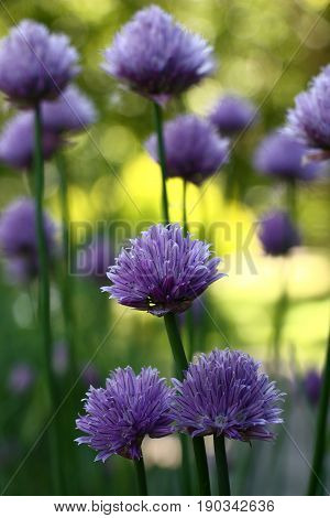 On the ends of long runaways the onions have flowers with a considerable quantity of violet petals.