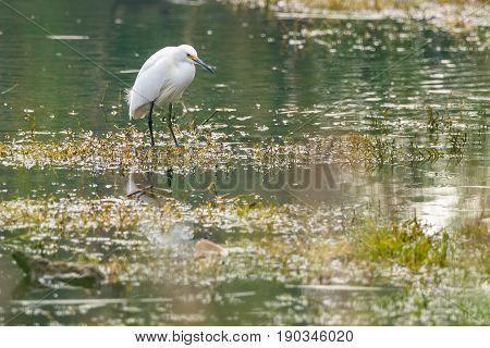 Great White Egret - Ardea alba - in a lake in South Perth, Perth, Western Australia, Australia.