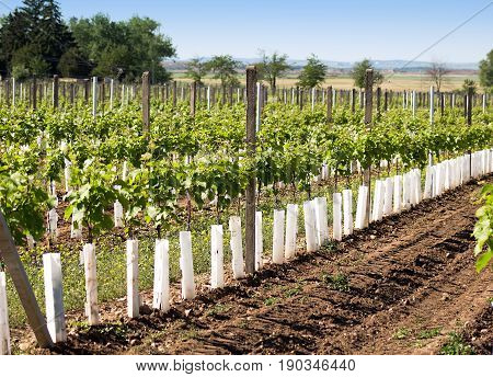 Vineyard with plastic protection of grapevine against game bites
