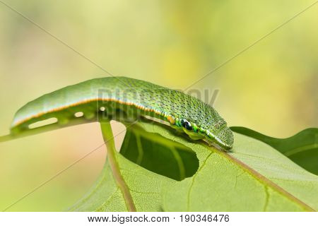 Close up of Great Orange-tip (Hebomoia glaucippe) caterpillar on its host plant leaf isolated on nature background with clipping path