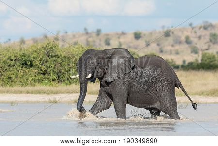 African Elephant bull wading through water in the Savuti area of the Chobe National Park in Botswana