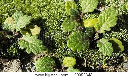 Zoom on a mini green moss lichen forest. Small plants with their green detailed leaves.