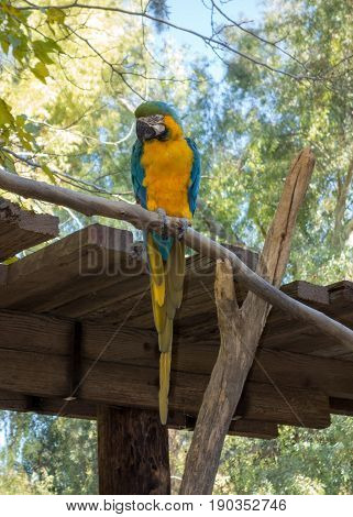 Ara Ararauna or blue-and-yellow or blue-and-gold Macaw of South America