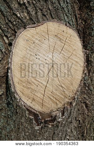 Cut elm tree with annual rings. Texture