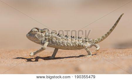 Desert adapted Namaqua Chameleon (Chamaeleo namaquensis) in the Dorob National Park near Swakopmund Namibia