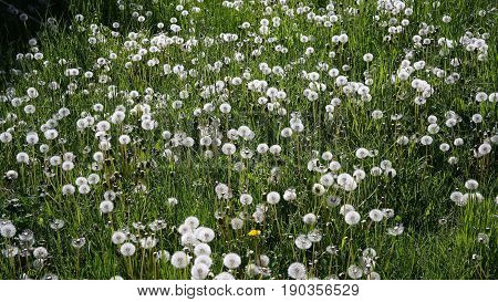 A field of white grown dandelions and grass