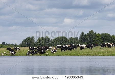 The farmer herd of cows is grazed near the river and some cows drink water
