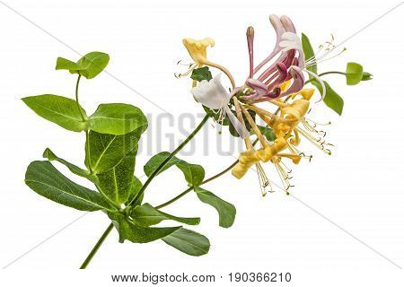 Flowers Of Honeysuckle, Lat. Lonicera Caprifolium, Isolated On White Background