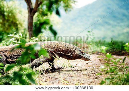 The Komodo dragon Varanus komodoensis the largest living lizard walking on Komodo Island in Komodo National Park Nusa Tenggara Indonesia.