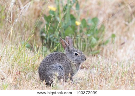 Alert Cottontail Rabbit (Sylvilagus) munching grass in the rain. Santa Cruz, California, USA.