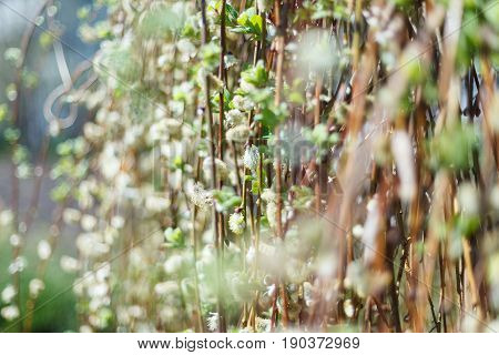 Soft spring background with pussy willow catkins, selective focus, for decoration