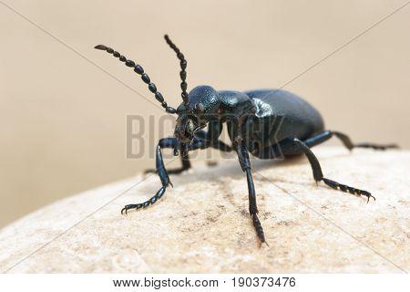 Meloe purple beetle , animal in nature