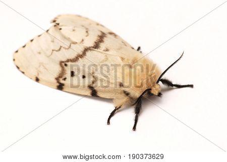 Moth Brudnice (Lymantria dispar) female on a white background