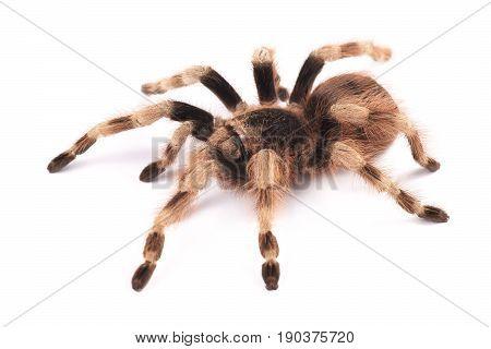 Tarantula spider female (Nhandu coloratovilosum) on a white background