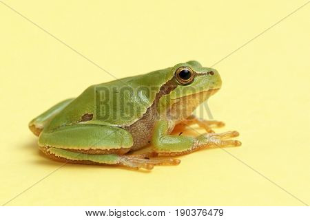 Tree frog (Hyla arborea) on a yellow background