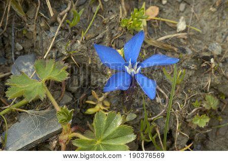 Short-leaved Gentian - Gentiana brachphylla Blue Alpine Flower