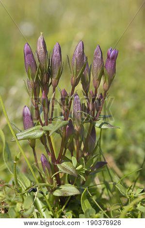 Autumn Gentian - Gentianella amarella Calcareous Grassland Flower