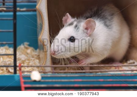 Rat (Rattus) , domestic pet in the cage