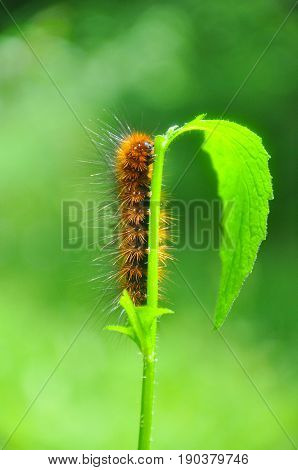 Caterpillar feeding on a leaf in garden and make damage. Caterpillar in the grass