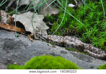 Vipera ammodytes, Nose-horned viper, most toxic and dangerous snake in Europe. Long-nosed Viper,  European viper snake