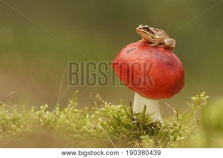 Common frog (Rana temporaria) and the mushroom