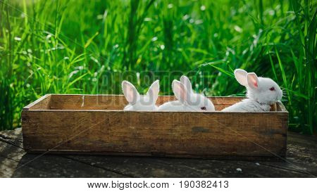 Three lovely fluffy rabbits sit in a wooden box on an old wooden board in the summer garden. Concept: Little white rabbits.