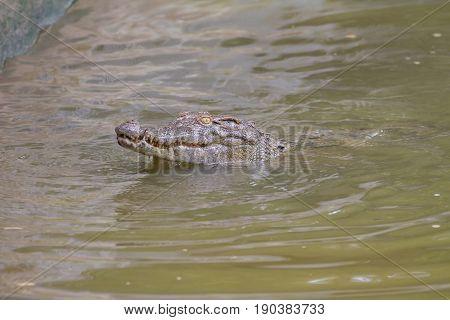 Close up Siamese Crocodile (Crocodylus siamensis) in Thailand