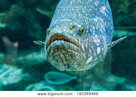 Fish Large Grouper