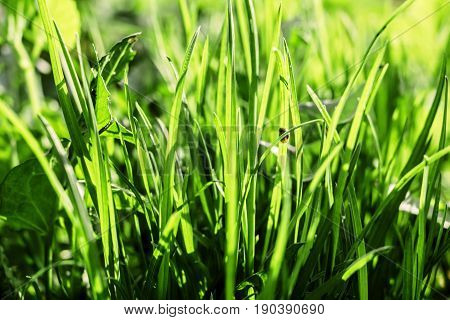 Young spring green grass lit by sun