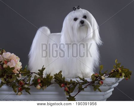 White Maltese  with long hair Looking in Camera