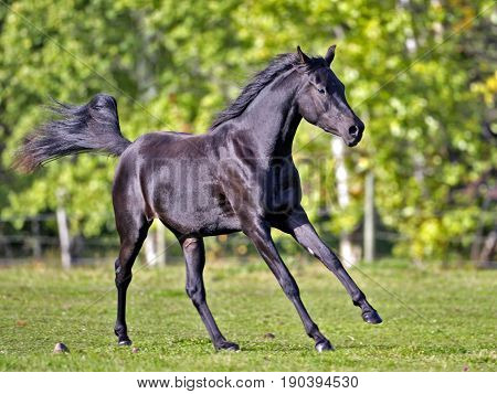 Black Arabian Horse two year old cantering in pasture