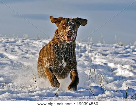 Playful Chesapeake Bay Retriever running in a field in fresh snow