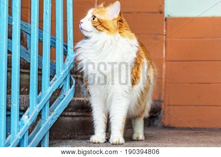 Adult red and white cat in stairwell