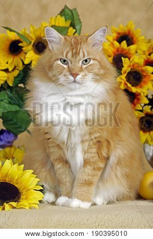 Tomcat ginger tabby and white sitting in front of sunflowers