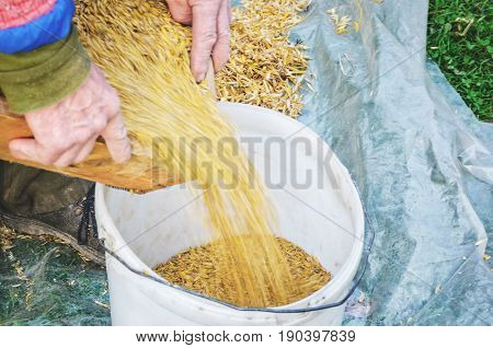 Worker pours grain from a sieve into a container. Sifting grain concept