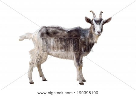 Motley goat isolated on a white background
