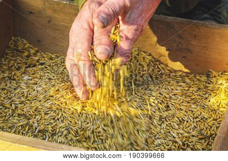 Hands of the worker who sifts the grain of oats through a sieve. Hands of an elderly person. Hands in wheat. Sifting grain concept