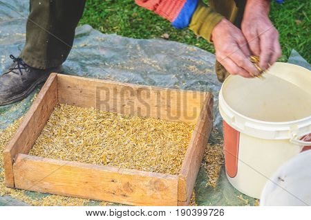 Hands of a working sieve with a grain of oats. Hands of the worker who sifts the grain of oats through a sieve. Hands of an elderly person. Hands in wheat. Sifting grain concept