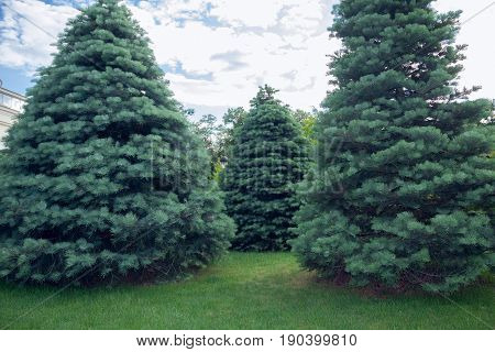 Three Abies concolor on a green grass