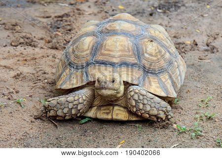 Tortoise walking on the dirty mud ground.