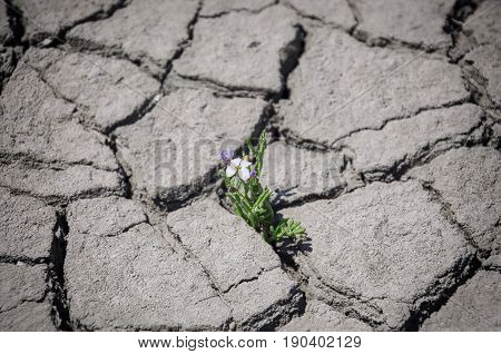 The flower grows in a crack in the middle of the cracked earth close up